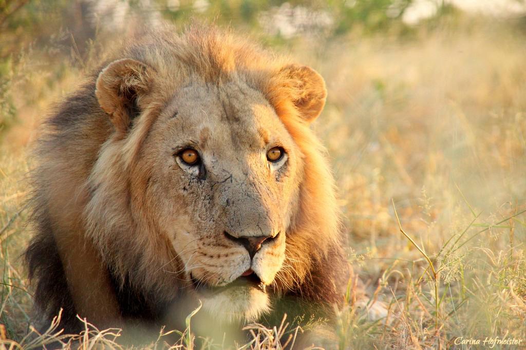 Löwe in der Kalahari, Botswana