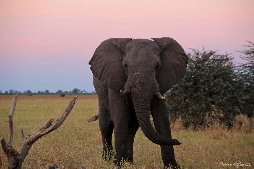 Die zerstörerischen Kräfte eines Elefanten sind nicht zu unterschätzen
