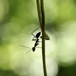 Große Ameise im Kubah Nationalpark Borneo