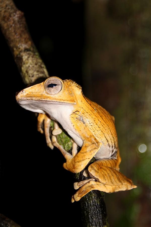 Frosch im tropischen Regenwald im Kubah Nationalpark, Borneo