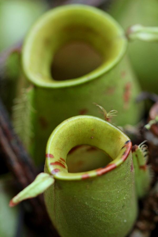Fleischfressende Kannenpflanze im Kubah Nationalpark, Borneo