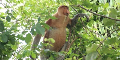Nasenaffe auf Borneo