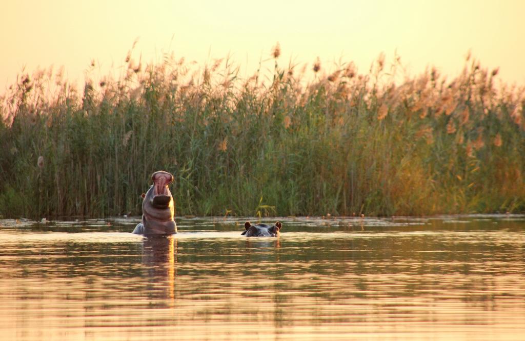 Baby-Nilpferd bei der Safari im Okavango Delta