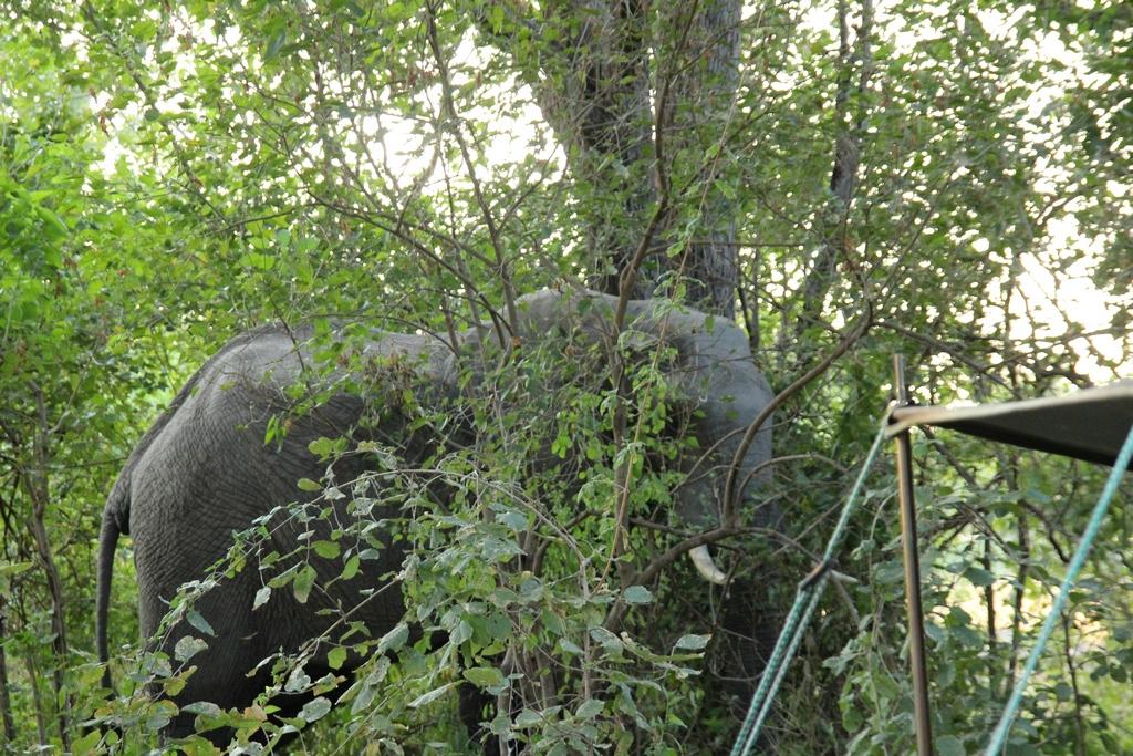 Camp-Elefant bei der Safari im Okavango Delta