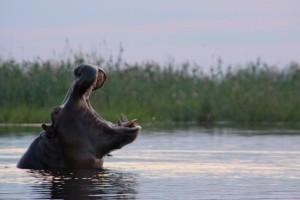 Nilpferd auf der Safari im Okavango Delta