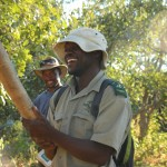 Frucht des Leberwurstbaums auf der Safari im Okavango Delta