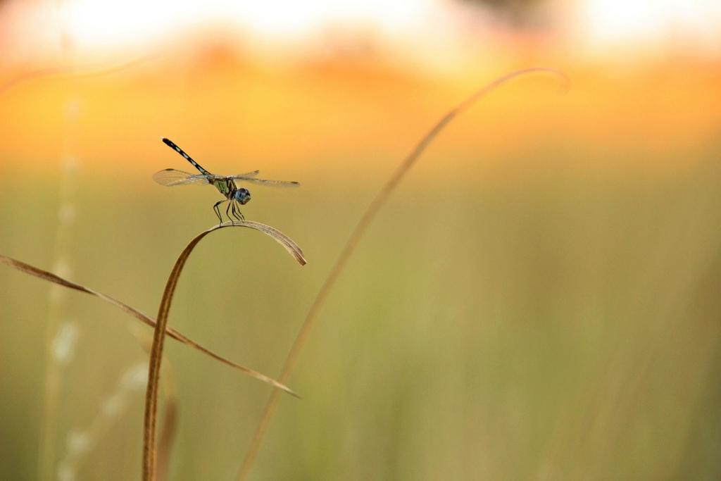 Libelle auf der Safari im Okavango Delta