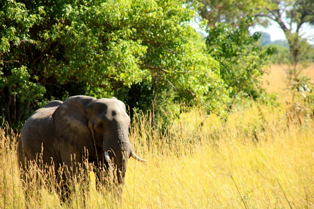 Elefant auf der Safari im Okavango Delta
