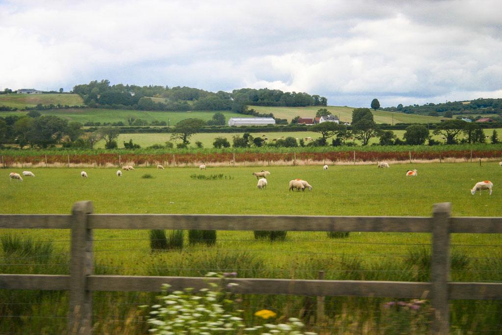 Schafe auf unserem Roadtrip in Irland