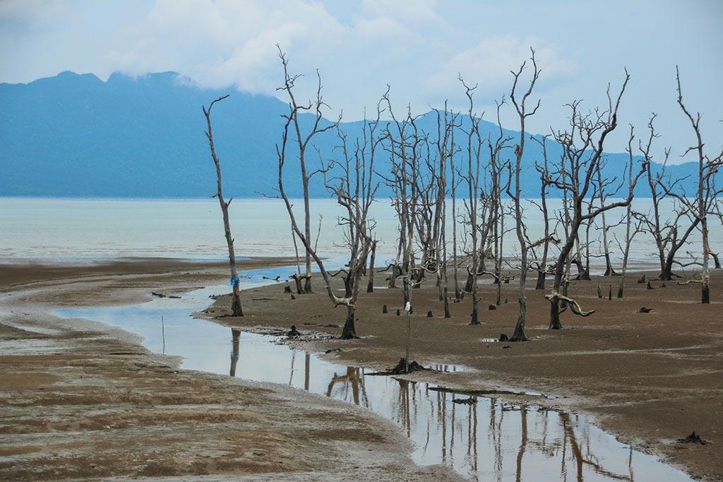 Abgestorbener Mangrovenwald