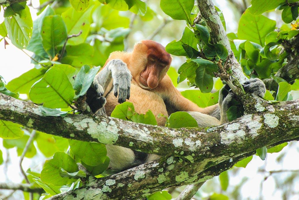 ... und jetzt wie dieser Nasenaffe weiter von Borneo träumen