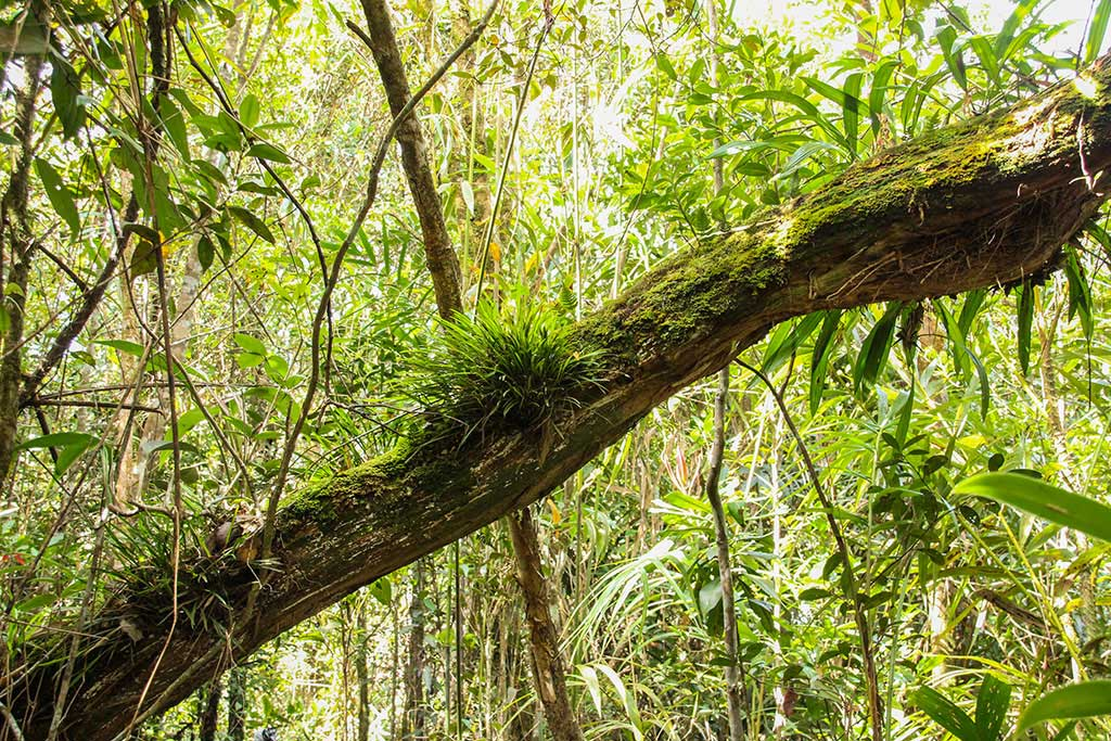 Aufsitzerpflanzen wie dieser Farn lassen die Nährstoffe einfach auf sich herabfallen