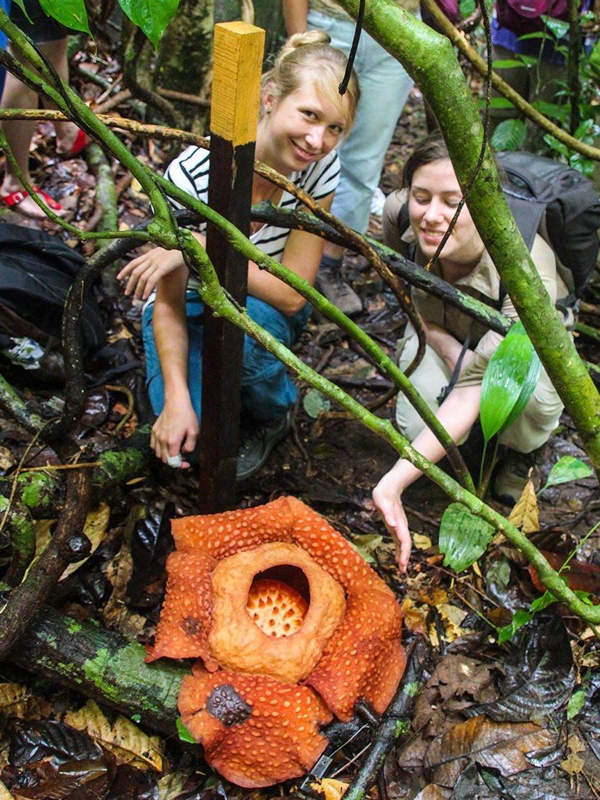 ... die Rafflesia, größte Blüte der Welt
