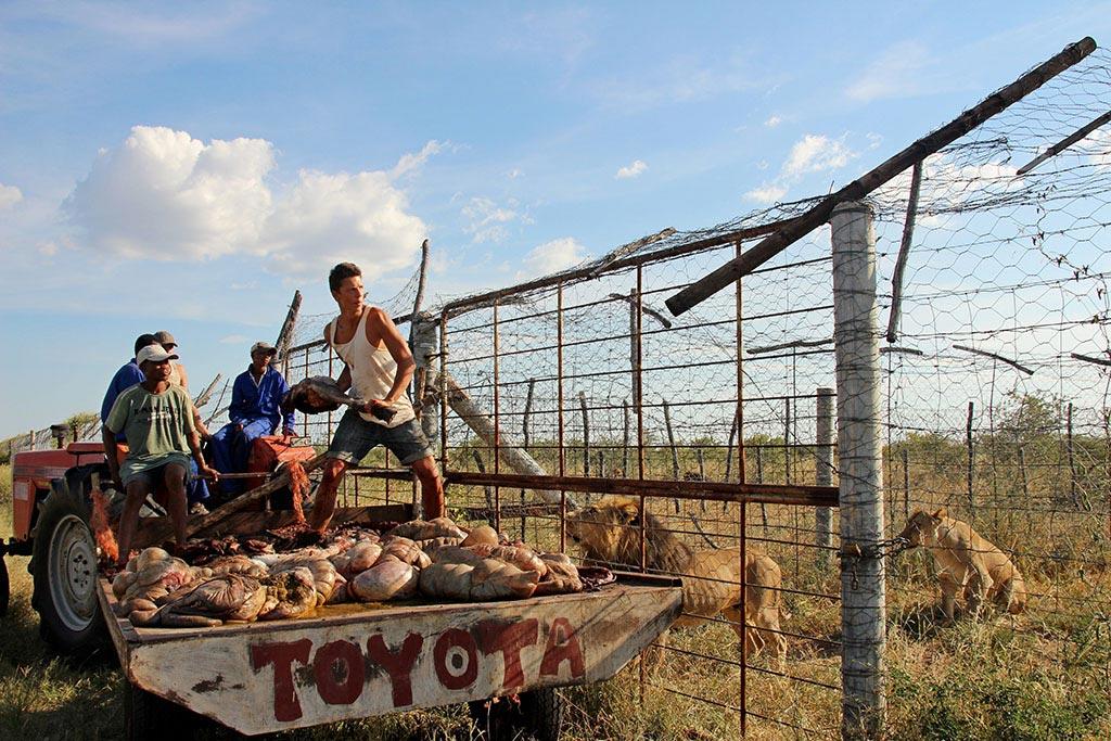 Die Löwen beim Modisa Wildlife Project bekommen Futter