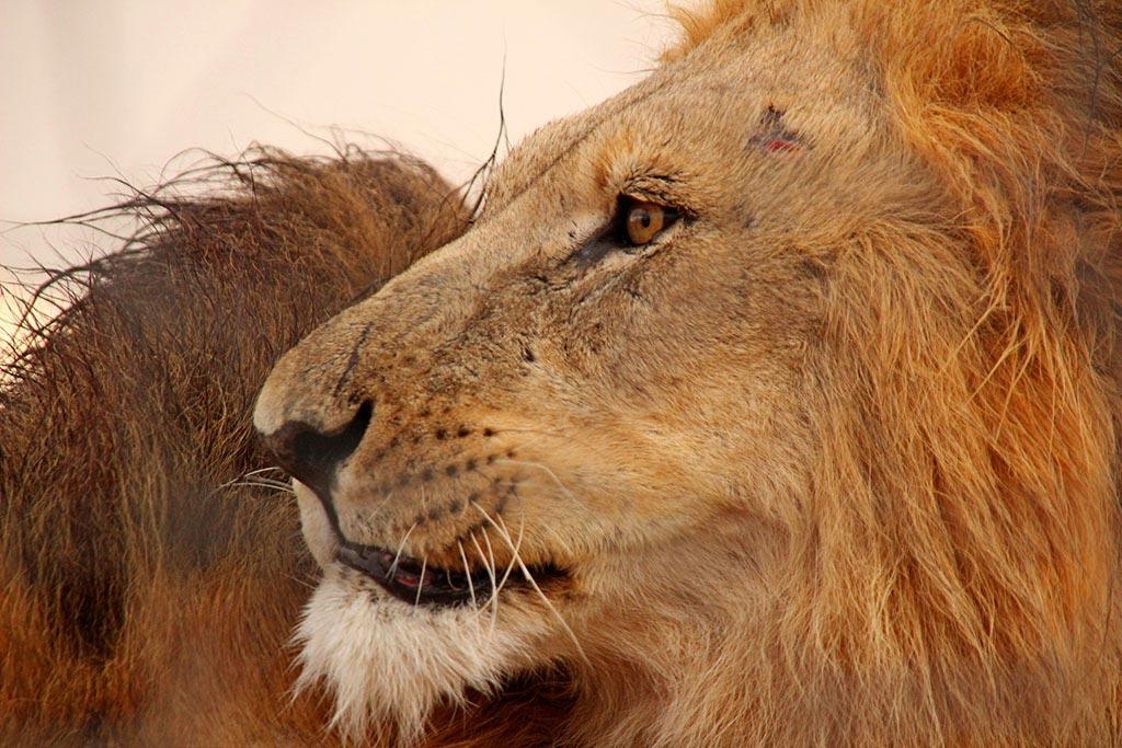 Die stolzen Löwenmännchen des Modisa Wildlife Projects