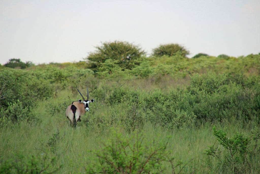 Ein Oryx beim Game Drive beim Modisa Wildlife Project