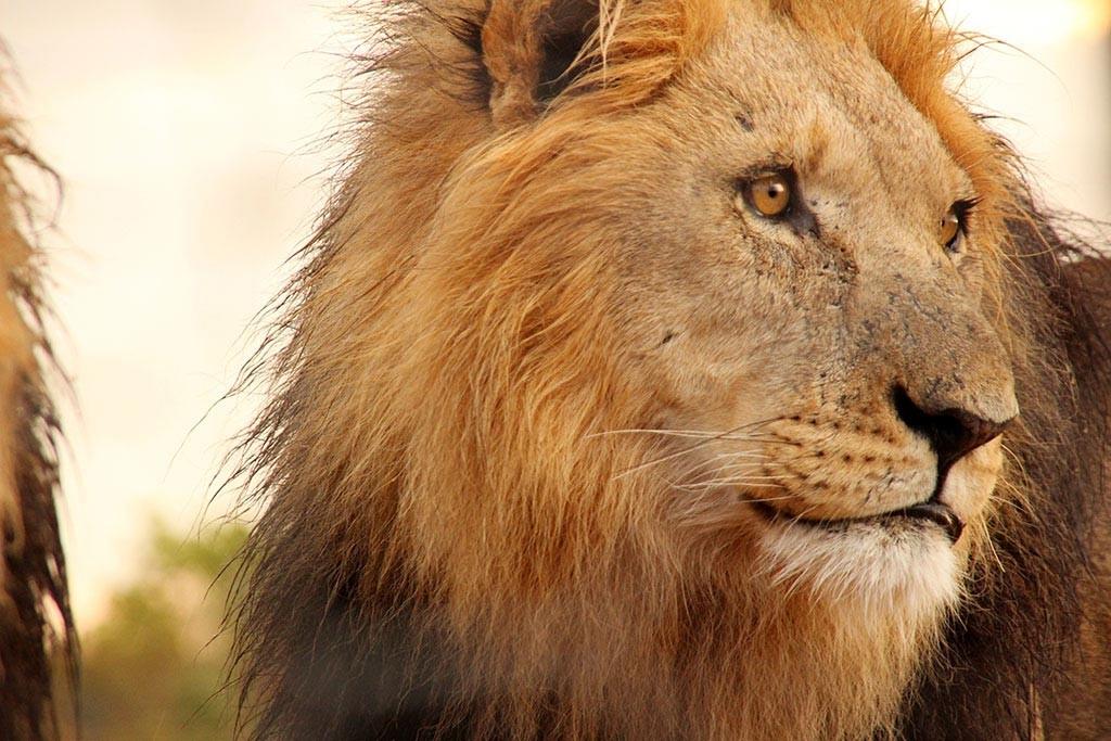 Ein prächtiges Exemplar, wie der getötete Löwe Cecil