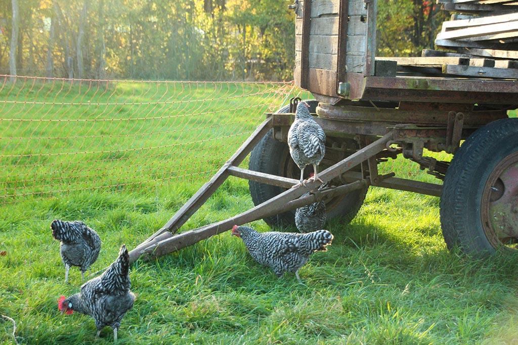 Alte Hühnerrassen in der Domäne Dahlem