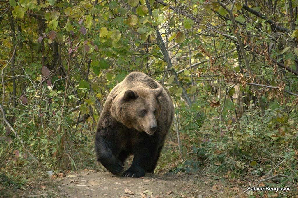 Begegnung mit Braunbären in Rumänien