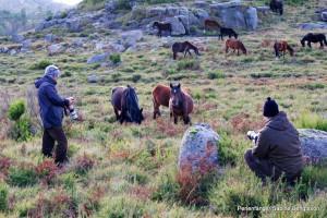 Wildpferde im Peneda Geres Nationalpark
