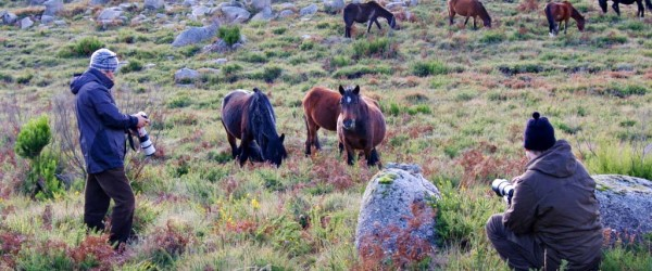 Wildpferde im Peneda Geres Nationalpark