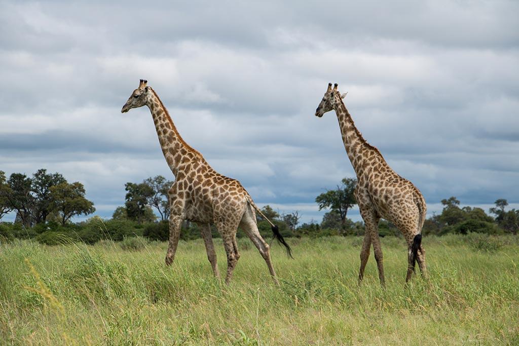 Giraffen in Selinda