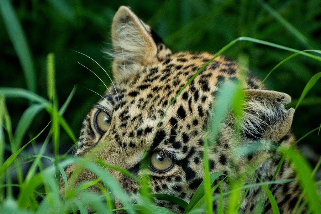 Leopard in Selinda
