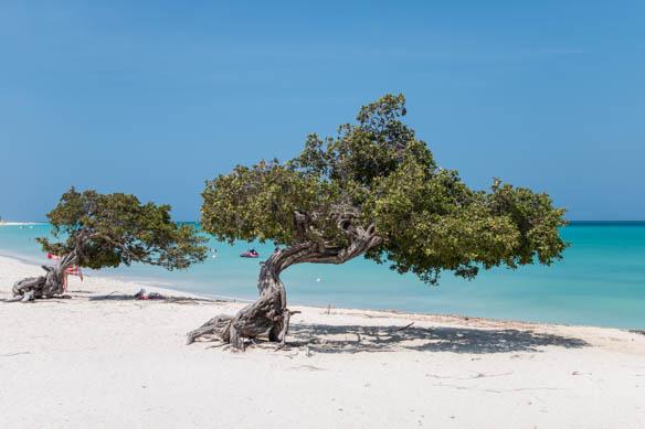 Wingebeugte Divi-Divi Bäume auf Aruba
